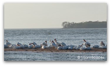 White Pelicans at Everglades Park Gulf Coast from boat trip