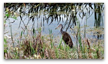 Limpkin at Loxahatchee Wildlife Refuge
