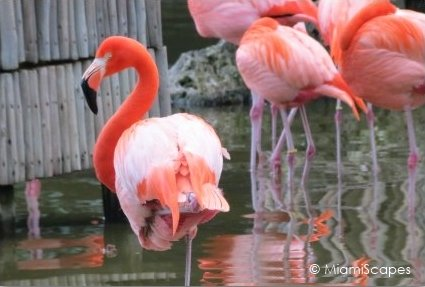 Flamingos at Lion Country Safari
