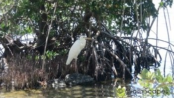 Great Egret and Mangrove Coastline