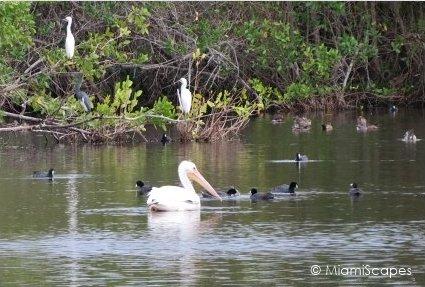 Waterbirds at Mrazek Pond Everglades