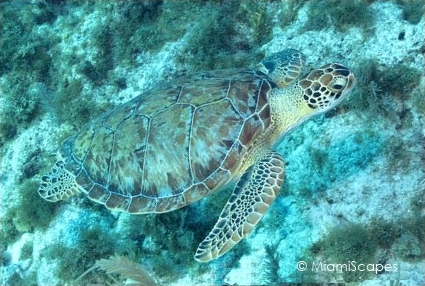 Green Sea Turtle swimming by