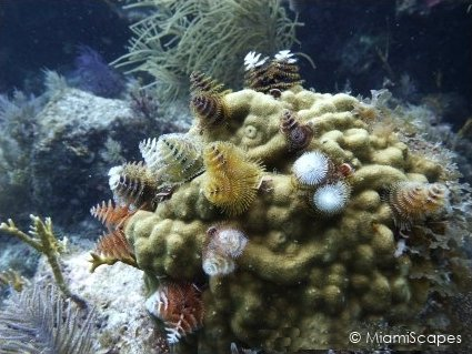 Diving French Reef, Christmas Tree Bommie in Key Largo