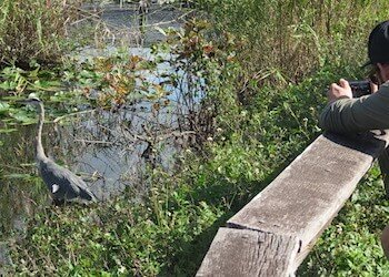 Beautiful Heron at Everglades Anhinga Trail