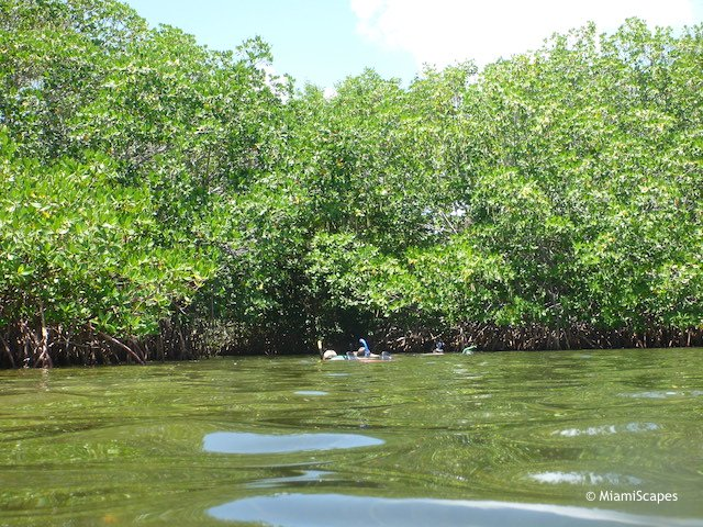 Snorkeling the Mangrove Shore at Pennekamp Park