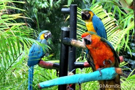 Jungle Island Miami, was previously Parrot Jungle, colorful birds are still a focal point of the park