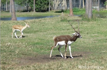 Lion Country Safari  blackbuck in the Gir Forest