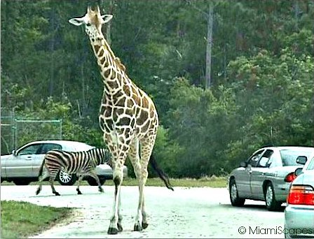 Drive Through Safari at Lion Country Safari Park