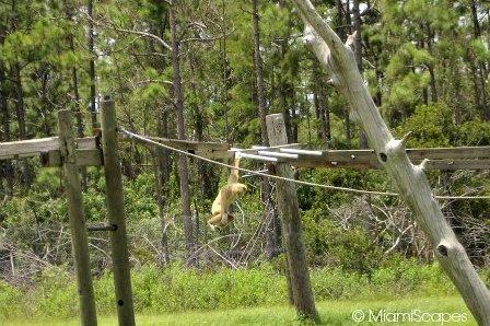 Lion Country Safari Gibbon hanging around