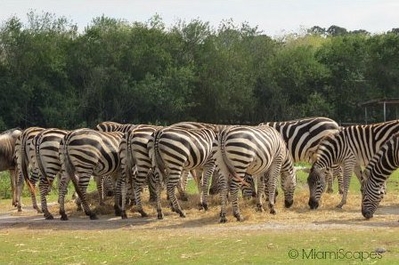 Lion Country Safari Herd of Zebras