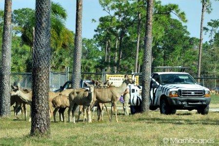 Lion Country Safari Feeding Time