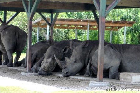 Rhinos resting under the shade