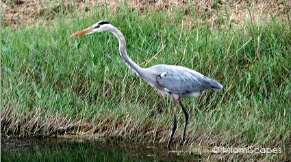Loxahatchee National Wildlife Refuge Birdlife: Great Blue Heron