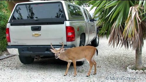 Florida Key Deer: Buck next to car