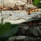 Mangrove Animals: Crocodile
