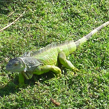 Mangrove Animals: Iguana