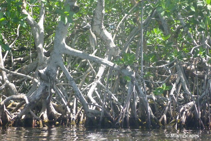 Heron perched in mangrove branches