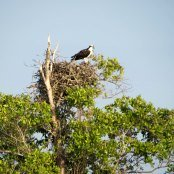 Osprey nest atop mangrove branches