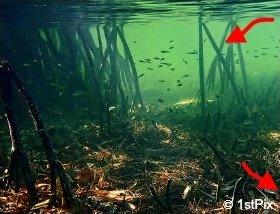 Mangrove Food Web: mangrove leaves and small fish