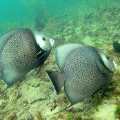 Mangrove Marine Life: Gray Angelfish