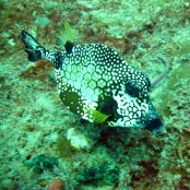 Mangrove Marine Life: trunkfish