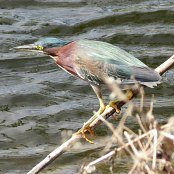 Mangrove Waterbirds: Green Heron