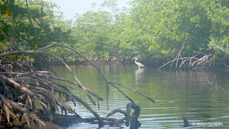 Mangrove Wilderness, mangrove plants and birds