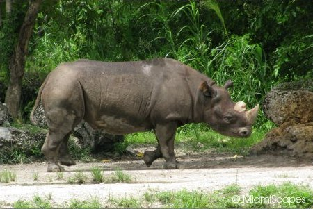 Black Rhino at the African Exhibits at Zoo Miami