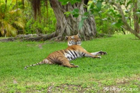 Bengal Tigers at the Asian Exhibits at Zoo Miami