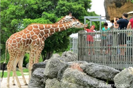 Giraffe Feeding at Zoo Miami