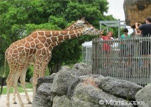 Giraffes at Metro Zoo Miami