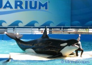 Lolita the Killer Whale at Miami Seaquarium