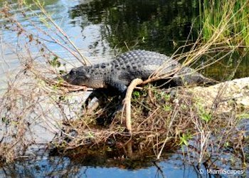 Alligator at Anhinga Trail in the Everglades