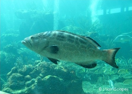Miami Seaquarium Tropical Reef Aquarium Grouper