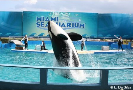 Miami Seaquarium: Lolita the Killer Whale is a highlight of the park
