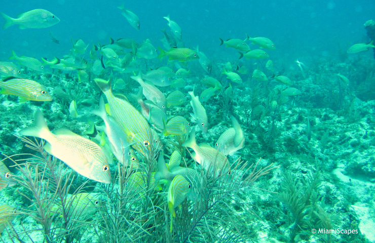 Snorkeling beautiful reef at Snapper Ledge