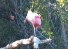 Spoonbill at Eco Pond