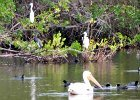 Pelicans at Mrazek Pond