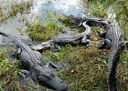 Alligators at Everglades NP