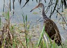 Limpkin at Loxahatchee NWR