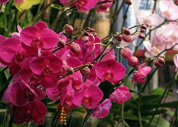 Redland International Orchid Festival