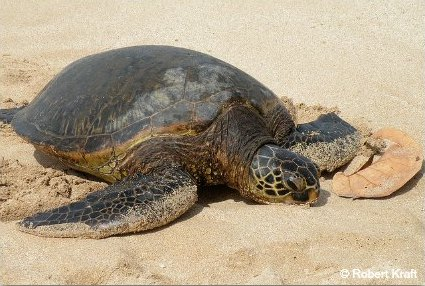 A Sea Turtle Digs a Nest with her flippers