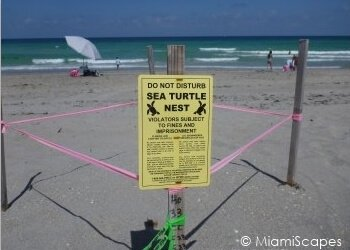Sea turtle nests at Hollywood Beach