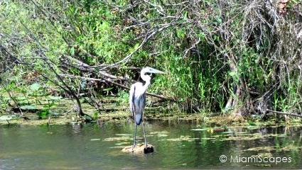 Great Blue Heron at Shark Valley Loop Road