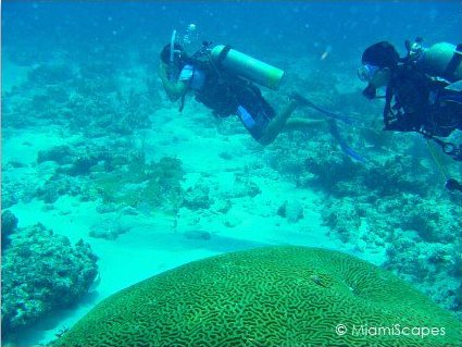 Divers swim by the healthy brain coral boulders at Snapper Ledge