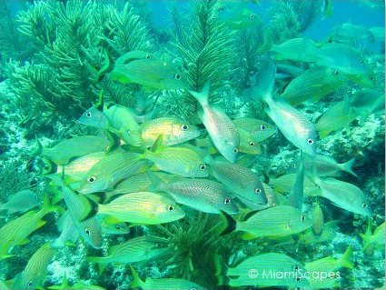 Snapper Ledge  - large schools of grunts, snappers, schoolmasters