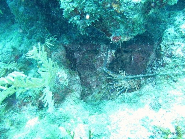 Lobster at Biscayne National Park