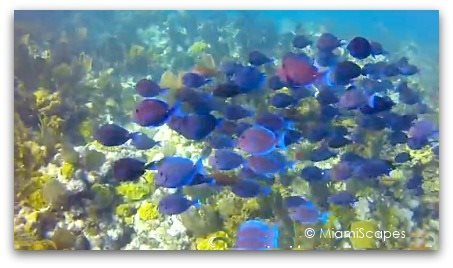 Beautiful Blue Tangs at Biscayne National Park