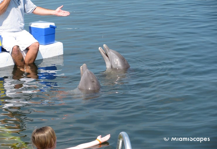 Swiming with Dolphins at the Dolphin Research Centre, Grassy Key