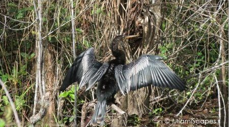 Anhinga drying feathers on Tamiami Trail